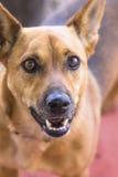 Brown aisló el perro Foto de archivo libre de regalías
