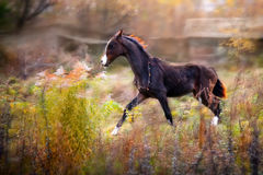 Brown Akhal-Teke foal. In motion stock photography