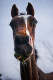 Brown Akhal-Teke foal Stock Photos