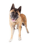 Brown Akita Standing Over White Background Stock Images