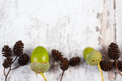 Brown alder cone and green acorn with copy space for text Royalty Free Stock Image