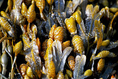 Brown algae. Brown seaweed in detail at ebb on the beach Royalty Free Stock Images