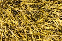 Brown algae, Ascophyllum Royalty Free Stock Photo