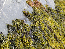 Brown algae, fucus Stock Images