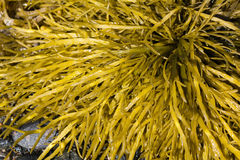Brown algae, fucus. Brown algae in the White Sea, fucus Royalty Free Stock Image