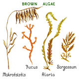 Brown algae. Set of watercolor brown algae isolated on a white background royalty free illustration