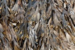 The brown algae toothed wrack Fucus serratus Royalty Free Stock Photos