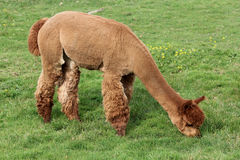 Brown Alpaca Royalty Free Stock Photography