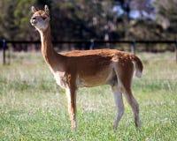 Brown alpaca. A single brown alpaca in a field Stock Image