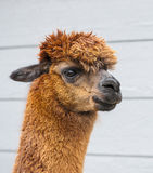Brown Alpaca Royalty Free Stock Image