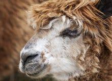 Brown Alpaca Royalty Free Stock Photos