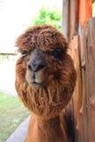 Brown alpaca Closeup Stock Photo