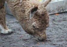 Brown Alpaca eating Stock Photography
