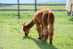 Brown alpaca eating Royalty Free Stock Images