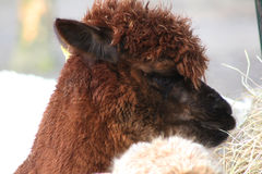 Brown Alpaca eating Stock Image