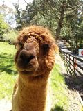 Brown Alpaca Royalty Free Stock Photos