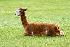 Brown Alpaca lying in a field Stock Photography