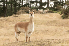 Brown Alpaca Stock Photos