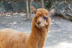 Brown Alpaca Stock Images