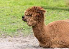 Brown Alpaca Royalty Free Stock Photo