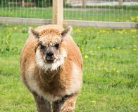 Brown Alpaca Royalty Free Stock Images