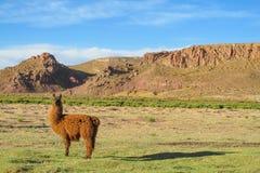 Brown alpaca Royalty Free Stock Images