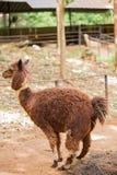 Alpaca. Brown Alpaca in the zoo Stock Photography