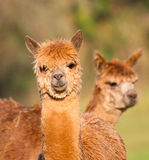 Brown Alpacas smiley face Stock Photography
