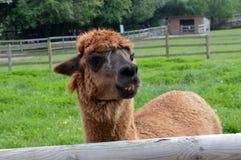 Brown-Alpaka Lizenzfreie Stockbilder