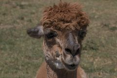 Brown-Alpaka lizenzfreies stockbild