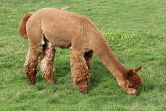 Brown-Alpaka Lizenzfreie Stockfotografie
