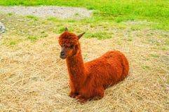 Brown Alpaka liegt auf dem Gras stockfotos