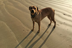 Brown American Bandogge Mastiff Stock Images