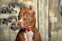 Brown American Pit Bull Terrier Royalty Free Stock Photos