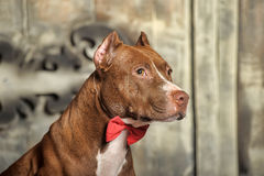Brown American Pit Bull Terrier Stock Images