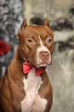Brown American Pit Bull Terrier Royalty Free Stock Photography