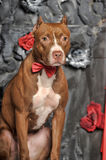 Brown American Pit Bull Terrier Royalty Free Stock Photo