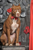 Brown American Pit Bull Terrier Royalty Free Stock Images