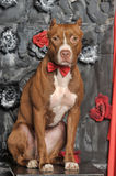 Brown American Pit Bull Terrier. With a bow tie at the neck Royalty Free Stock Photo
