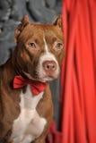 Brown American Pit Bull Terrier Stock Image