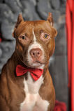 Brown American Pit Bull Terrier Stock Photography