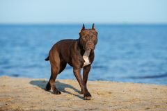 American pit bull terrier dog walking on the beach. Brown american pit bull terrier dog on the beach royalty free stock photo