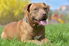 Free Brown American Pit Bull Terrier Lying Stock Photo - 92922170