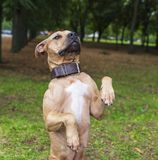 Brown American pit bull terrier stands on its hind legs stock image