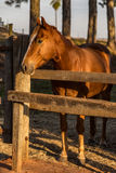 Brown American Quarter Horse in the farm Royalty Free Stock Photos