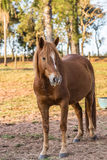 Brown American Quarter Horse in the farm Royalty Free Stock Photography