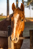 Brown American Quarter Horse in the farm Stock Photos