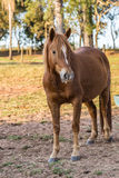 Brown American Quarter Horse in the farm Royalty Free Stock Photo