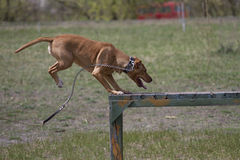 Brown American Staffordshire bull terrier jumps over a hurdle during a training session. Stock Photo