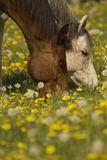 Brown & cavallo bianco che pascono Fotografia Stock